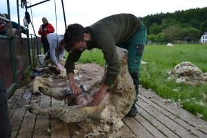 Stříhání ovcí a úprava paznehtů ovcí a koz